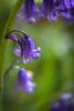 Bluebells (judy dean) Tags: judydean 2018 bluebellwood lensbaby blue bells english wood bluebell oddington