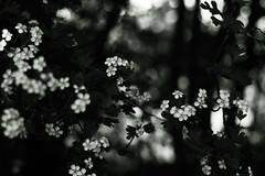Crataegus with Bokeh 6 (Amselchen) Tags: plants blossom flowers season earlysummer bnw blackandwhite mono monochrome sony a7rii alpha7rm2 sonyilce7rm2 zeiss carlzeiss planar planar5014zs planar1450tzs m42 bokeh blur dof depthoffield