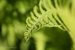 fern (photos4dreams) Tags: photos4dreams p4d photos4dreamz photos photo pics flower flowers nature mysecretgarden home