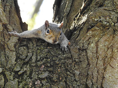 Secret Admirer (Alemap.1) Tags: squirrel animal tree perch watch macro