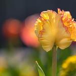 Tulip thumbnail