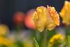 Tulip (mclcbooks) Tags: flower flowers floral macro closeup tulip tulips spring bulbs denverbotanicgardens colorado