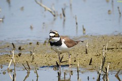 Corriere piccolo - Charadrius dubius (ddgp) Tags: littleringedplover birdwatching nature wild