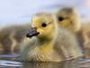 Gosling (Canada Goose) (Susanne Leyh) Tags: gosling canadagoose babybird babyanimal cute nature natur water waterfowl wildlife spring springtime gans gänsejunges pond lake nikon nikkor bird vogel po