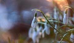 Snow drops and lens flare. (agnieszka.a.morawska) Tags: dof bokeh bokehlicious bkhq beyondbokeh helios flower light lensflare spring snowdrops