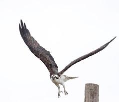 2018 Birds of the Mississippi River Delta (14) (maskirovka77) Tags: saintbernard louisiana unitedstates us river delta bird osprey fisheagle baldeagle shrike pelican egret