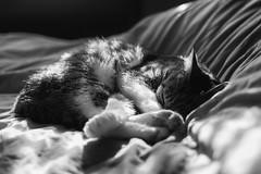 Rest (sdupimages) Tags: féline animal sleeping pet chat cat mbt hmbt bokeh noirblanc blackwhite