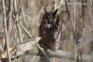 Long eared Owl by Russ Allison