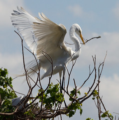 making a nest (HeidiFischer) Tags: high island rookery wildlife smith oaks sanctuary egret nes