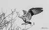 landing @ the top (Charles_RAMOS-iVision18000) Tags: oiseau arbres tonal monochrome bokeh bnw héron photography blackandwhite flight fly nikkor 200500mm nikonphotography nikkorlens nikonphotographer nikon digital dslr nikond500 d500 750mm nature birds animal europe france apsc reflex expeed5 action wings spring