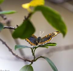 Cuatro ojos común – Junonia genoveva hilaris (Jerseket) Tags: cuatro ojos común junonia genoveva hilaris mariposa butterfly garden jardín argentina buenosaires otoño autumn canont3i canon sigma sigmalens photoshop