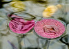 Hello Lilly. (Omygodtom) Tags: water portland pond tamron90mm macro bokeh dof d7100 asia happy usgs urbunnature tannersprings