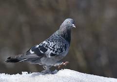 Pigeon... (anacm.silva) Tags: pigeon pomba ave bird wild wildlife nature natureza naturaleza birds aves norway noruega escandinávia ice snow neve fjord coth5