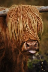 A bold fringe (Rudi Verspoor) Tags: cow scotland highland highlands crianlarich farm cows hair fringe animal animals dslr nikon d7200 55300 telephoto cycling touring travelling travel uk britain scottish