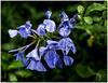 Blue Blossoms (kurtwolf303) Tags: plant blue blau blossoms blüten wassertropfen macro flower olympusem1 omd microfourthirds micro43 systemcamera mirrorlesscamera flora drip mft kurtwolf303 natur nature