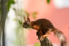 Jump! (derliebewolf) Tags: hörnchen nagetiere säugetiere wildlife dresden sachsen deutschland de urbanwildlife redsquirrel squirrel nature bokeh backyard dof nikon d600 spring