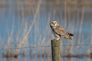 Short-Eared Owl Eldernell 14-04-2018-4343
