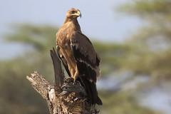 Steppearend - Steppe Eagle-Aquila rapax (marcdeceuninck) Tags: tanzania ndutu safari nature natuurfotografie birds vogels steppearend steppeeagle aquilarapax