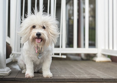 Hair raising (dog ma) Tags: lucy bichon frise dogma jodytrappephotography pet portrait outdoors deck landing whitedog smiling tongue nikon d750 nikkor 50mm breed cotondetulear