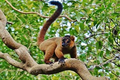 Red-ruffed Lemur (Varecia rubra) (Susan Roehl) Tags: madagascar2017 islandofmadagascar offtheeastcoastofafrica palmariumreserve redruffedlemur vareciarubra animal mammal diurnal eatsfruit leaves shoots figs genusvarecia rainforest oneofthelargest clean groomsalot toothcombinmouth groomwithclawonhindfeet lives1525years mostactiveinmorning evening sueroehl photographictours naturalexposures panasonic lumixdmcgh4 35x100mmlens handheld slightlycropped wood forest tree ngc coth5