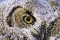 Owl (britneyforce) Tags: owl bird eye nature wildlife tamron feathers wyoming