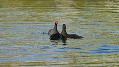 Moorhen fight (9/10) (Franck Zumella) Tags: moorhen galinule poule eau nature fight lutte water lake lac bataille duel black noir bird oiseau wildlife action color colors couleur