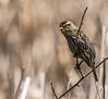 Female Red-Winged Blackbird (will139) Tags: agelaiusphoeniceus avian outdoors wildlife abundant beak nature passerine eaglecreek female redwingedblackbird