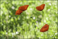 22 aprile 2018 (adrianaaprati) Tags: april park flowers poppies red spring grass blur light bokeh