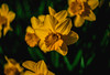"""""""Finally New Growth"""" (36D VIEW) Tags: helios44258mmƒ2 helios 442 58mm helios44 helios442 alpha mirrorless a7rm2 a7rii spring flowers sony vintage legacy classic"""