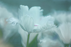 Beauty in White (lfeng1014) Tags: beautyinwhite whitetulip tulip spring centennialparkconservatory toronto canada canon5dmarkiii ef100mmf28lmacroisusm macro macrophotography closeup bokeh pure fringedpetals flowermacro dof depthoffield