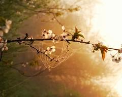 Net (johaennesy) Tags: morning net dew fog mist ruhr ruhrwiesen ruhrgebiet goldenhour snapseed pentaxian