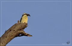 _DSC0281 (Eykat) Tags: alcyon martinpêcheur kingfisher barbican barbet bird oiseau baringo mara massai kenya buffalo buffle hoaxpecker piqueboeuf tchitrec wagtail