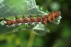 Chenille (caterpillar) de Polygonia c-album, le Robert-le-Diable. (chug14) Tags: macro insecte unlimitedphotos chenille larve larva caterpillar insecta lepidoptera nymphalidae nymphalinae robertlediable vanessacalbum papiliocalbum polygoniacalbum