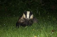 Badger (farrertracy) Tags: badger night dorset spring