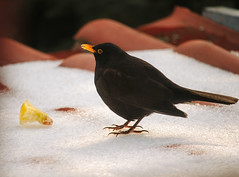 Blackbird (Inka56) Tags: 7dwf fauna blackbird roof winter snow backlight sunset bird