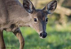 Deer Doe. (Estrada77) Tags: deer furrycreatures
