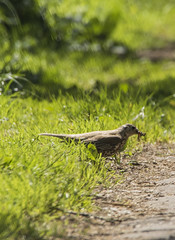Mistle Thrush (Mal.Durbin Photography) Tags: forestfarm maldurbin wildlifephotography wildlife birds