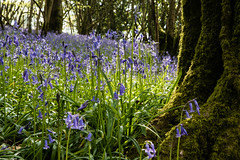 "Definitely ""That"" Time of Year (PedroLanders) Tags: berealston devon bluebell flower wood ancientwoodland"