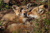Red Fox Kit getting Mom's affection...6O3A8730A (dklaughman) Tags: redfox kit bombayhooknwr delaware