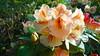 Rhodondendron (marieckejanssen) Tags: rhodondendron flower blume bloem fleur green vert groen euromastpark rotterdam blindphotographer macro rood red