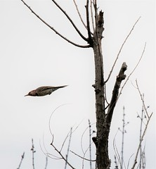 Yellow-shafted Northern Flicker. (Gillian Floyd Photography) Tags: bird yellow shafted flicker