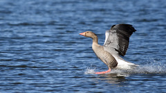 """The goose has landed"" (42jph) Tags: nikon d7200 sigma 150500 wildlife nature bird holywell pond uk england northumberland pink pinkfooted goose water landing splash"