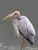 Great blue heron, Ardea herodias (John's Love of Nature) Tags: greatblueheron ardeaherodias johnkelley johnsloveofnature