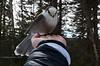 Close encounter of the nice kind ! (Acadie67) Tags: mesangeai canada bird oiseau atlanticcanadaatlantique parcnationaldelagaspesiepark nature hogsbackmount greyjay gaspesie mountains flickrcanada cans2s myfuji