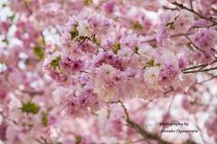 Double cherry blossoms (yumehana) Tags: cherryblossom cherry tree jpapan ibaraki prep nature park double blossoms prefecture