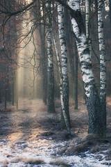 Cold morning (xkolba) Tags: foggy earlyspring mist forest misty morning tree trees rays fog outdoor landscape podlasie poland birch