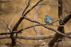 Mountain Bluebird (Jon David Nelson) Tags: sialiacurrucoides mountainbluebird birds passerines wildlife highdesert centraloregon nature conservation sagebrushsteppe sagebrushsea