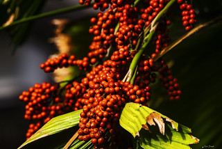 UNA PIANTA DI CAFFE'    ----    A COFFEE PLANT