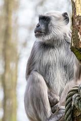 Wise (Photography by Martijn Aalbers) Tags: hanumanlangur hanumanlangoer monkey ape beast animal mammal aap beest dier life leven zoo dierentuin park parc nature natuur deapenheul apeldoorn gelderland guelders canoneos77d ef70200mmf4lisusm wwwgevoeligeplatennl