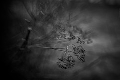 2018.04.12_102/365 - A slumber with anxiety and despair. (Taema) Tags: bw bwphd2018 blackandwhite lensbaby 35mm bokeh twigs spring graydreaming